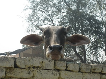 Mistress Troy sees a curious cow in Vrindavan, India, at Care for Cows